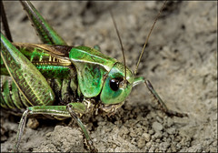DR091011_075Ab (dmitryzhkov) Tags: life moscow russia wildlife analog documentary reproduction selection insect macro closeup macrophotography nature dmitryryzhkov film color colour colors grasshopper orthoptera grassselect