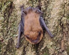 Big Brown Bat (Anita363) Tags: bigbrownbat bat eptesicusfuscus eptesicus vespertilioninae vespertilionidae chiroptera mammal fauna helyarwoods rutgersgardens newbrunswick nj newjersey april