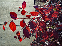 Red Leaves. (dccradio) Tags: lumberton nc northcarolina robesoncounty outdoor outdoors outside nature natural park citypark raymondbpenningtonathleticcomplex penningtonathleticcomplex northeastpark april weekend saturday saturdaynight saturdayevening evening goodevening spring springtime hp hewlettpackard hpdsccb350