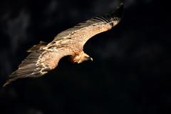 vautour fauve (frederic.laroche6) Tags: vautour fauve gorge verdon provence alpes oiseau bird animalier nikon