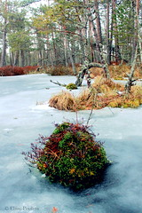 Soft spot (Eliise Poolma) Tags: moss bog tree landscape ice winter frozen colors estonia meenikunno