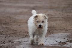 Walkies ! (phileveratt) Tags: dog terrier mongrel canon eos77d efs55250 jackrussell