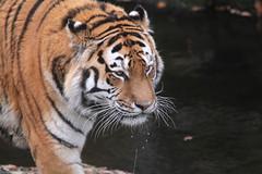 IMG_1499 (Simon M Hendry) Tags: yorkshirewildlifepark zoo england yorkshire wildlifepark animal mammal tiger bigcat amurtiger walking