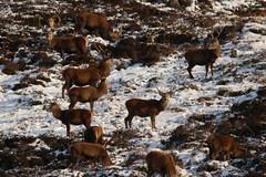 IMG_5279 (monika.carrie) Tags: reddeer monikacarrie wildlife scotland aberdeenshire royaldeeside
