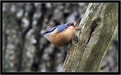 NUTHATCH (PHOTOGRAPHY STARTS WITH P.H.) Tags: nuthatch stover park devon nikon d500 300mm 28 g ii