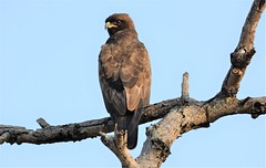 Brown Snake Eagle. (pstone646) Tags: eagle bird africa nature animal wildlife tree perched sky southafrica safari raptor birdofprey fauna feathers