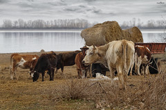 Grazing next to the lake (dim.pagiantzas | photography) Tags: cows animals mammals agriculture grazing lake nature field tree plant sky clouds cloudy reflections landscape textures haystack colors