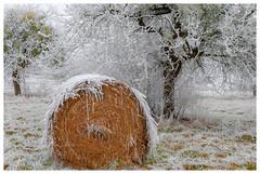 L'oublié (Pascale_seg) Tags: landscape paysage winterscape winter hiver campagne country countryfield countryside moselle lorraine grandest france nikon field paille roundballer givre frost snow neige arbre tree gui