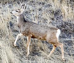 Town Deer (wyojones) Tags: wyoming cody deer odocoileushemionus citydeer urbandeer population