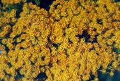 Verticordia nitens, Kings Park, Perth, WA, 23/12/94 (Russell Cumming) Tags: plant verticordia verticordianitens myrtaceae kingspark perth westernaustralia