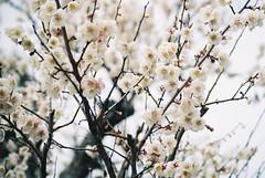 Plum Blossoms (GingerKimchi) Tags: nara osaka japan travel nature asia film 35mm fujifilm canon deer canona1 2019 spring february march
