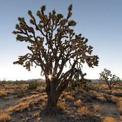 Mojave Sunrise (magnetic_red) Tags: joshuatree sunrise sunrays goldenhour mojavenationalpreserve americanwest