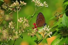 _Q9R0796 (Arthur's Dream (Dreamer:Thanks for +7.556.000 v) Tags: butterfly nature flower natureinfocusgroup