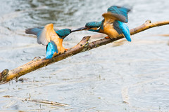 Kingfishers Passing Food - Lackford Lakes, Suffolk (nickstone333) Tags: lackfordlakes suffolk suffolkwildlifetrust ukwildlifetrusts nikon nikond7100 d7100 sigma sigma150500 sigma150500mmf563dgoshsm nature wildlife kingfisher bird alcedoatthis