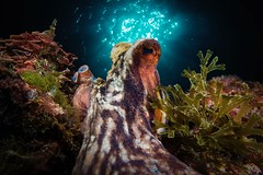 Master of puppets (Toni Bertran) Tags: reflection sun scubadive dive buceo busseig catalunya catalonia begur pulpo pop octopus