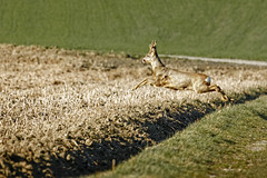 Deer crossing (memories-in-motion) Tags: wildwechsel deer crossing jump rehbock nature run green outside ed canoneos5dmarkiv ef100400mmf4556lisusm