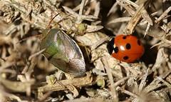 The Odd Couple (Sybalan,) Tags: toward cowal coastal argyll arachnids lichen ladybird insects gorse scotland sunny summer canon 760d 100mmmacrolens macro march nature wildlife westcoast seashore shieldbug arachnoid yellow red green
