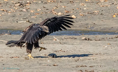 Tasty Morsel (edhendricks27) Tags: bald eagle jr beach fish canon wildlife nature