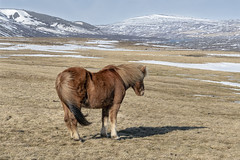 The windblown look (tmeallen) Tags: icelandic horse windblown back wind shadow driedgrasses icelandichorse hills snowcovered snow strongwind blowingtail blowingmane travel ruralscene northiceland gale neargodafosswaterfall