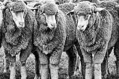 Macarthur Park. (Ian Ramsay Photographics) Tags: camden newsouthwales australia hearnoevil speaknoevil seenoevil sheep wool rural farm