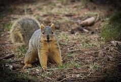 Squirrel, Morton Arboretum. 450 (EOS) (Mega-Magpie) Tags: canon eos 60d nature wildlife outdoors squirrel morton arboretum lisle dupage il illinois usa america