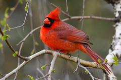 Northern Cardinal (ritchey.jj) Tags: cardinal