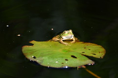 (nk_fotographics) Tags: selegermoor frosch frog quack