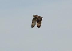 IMG_9885 (monika.carrie) Tags: monikacarrie wildlife seo shortearedowl forvie scotland owl