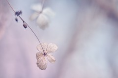 Silence (Janette Paltian) Tags: janettepaltian canon 6dii helios 442 helios442 rosa pastel winter vintagelens nature natur garden dof bokeh hortensie hortensia hydrangea