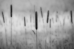 cat tales (courtney065) Tags: nikond200 nature landscapes pondscape wetland river cattails grasses wintergrasses winter abstract artistic blackandwhite bw flora foliage aquaticplants monochrome