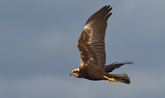 Lagunero (coverkill) Tags: aves pitillas navarra naturaleza nature natural vuelo rapaz raptor luznatural olympus
