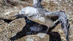 Practicing (Stefan Marks) Tags: animal australasiangannet bird chick gannet morusserrator nature outdoor practicing young aucklandwaitakere northisland newzealand