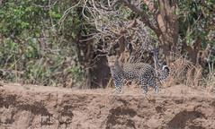 Contemplating (Tris Enticknap) Tags: africa zambia cat southluangwa africanleopard leopard pantherapardus pantheraparduspardus