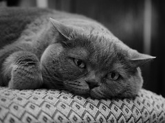 P1060965 (Vladimir V. Samoylov) Tags: 25mm animals bnw cat e5markii leicadgsummilux25f14 lumix m43 micro43 microfourthirdsmicro43 mono monochrome omd panasonicleicadgsummilux25mmf14asph μ43
