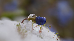 Snow Beauty.... (Piet photography) Tags: macro snow moss winter knop flowerbud