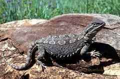 Downs Bearded Dragon (nicgambold) Tags: australianwildlife lizard herpetology herptofauna northern australia reptile blacksoil dragon agamidae qld diplodactylidae predigital transperancy