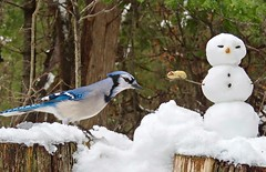 Frozen Dinner (Meryl Raddatz) Tags: bird nature snowman snow winter canada bluejay