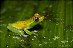 Palmar Treefrog (Ana O.D.) Tags: frog frogs treefrog amphibian herpetology nature wildlife outdoor naturaleza fauna rana ranas anfibios animal animals animales ecuador
