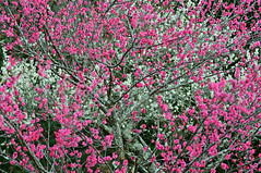 Ume Blossom Iwamoto Mountain Park (Yuzu Tama) Tags: ume blossom iwamoto mountain park japan shizuoka fuji todays dayliphoto instadaily photogenic igjapan loversnippon worldcaptures flickrfriday welovef radiof ftimes 2019 genicmag genictravel geniclife genicblue genicjapan genicphoto genictown genicsummer tabijyo tabijyosummer tabijyomaptwn tabijyotravel flickr heroes