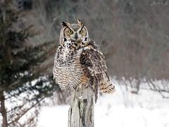 Oliver Great Horned Owl CRC IMG_2597 (Jennz World) Tags: ©jennifermlivick canadianraptorconservancy vittoria ontario canada greathornedowl owl bird raptor snow winter