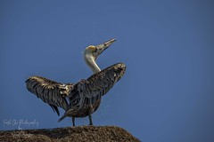 Brown Pelican - Pelecanus occidentalis, Mayan Riviera, Mexico (Freshairphotography) Tags: pelicans brownpelican mayanriviera mexico yucatan seabird bird wildbird wildlife