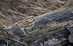Sparrow of some sort (TW Olympia) Tags: song sparrow