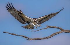 Osprey Revisited (Lynn Tweedie) Tags: wood beak tail wing canon ngc animal smithvillelake blue 7dmarkii missouri osprey sigma150600mmf563dgoshsm eye sky tree eos feathers bird branch