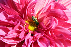 Un dolce lavoro - A sweet work (Roberto Marinoni) Tags: macro fiore flower ape bee sigurtà parcogiardinosigurtà