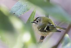 Goldcrest (Shannon Wilde 9322) Tags: goldcrest wildlife wildlifephotography nature naturephotography birdlife birdphotography birdwatch canon sigma