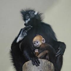 Bonding (Notkalvin) Tags: francoislangur monkey francoisleafmonkey notkalvin mikekline toledozoo simian captive baby newborn cute nopeople canon bonding momandchild motherandyoung tonkinleafmonkey sideburns hairy fur