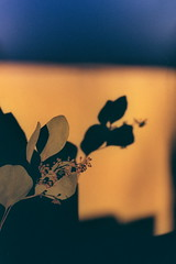 Negative0-03-2A(1) (simona_stoeva) Tags: canon ae 1 film 35mm analog sunset interior plants home sun light reflection shadow