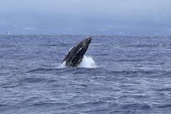 Breaching Baby (River Wanderer) Tags: humpbackwhale whalecalf breach maui lahaina hawaii nationalmarinesanctuary ocean nikond7200