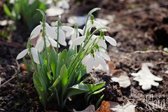 (Rhia.photos) Tags: snowdrop snowdrops flowers nature white green depthoffield dof perspective colours light image photography photo photograph angle petals leaf fallenleaf
