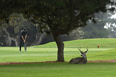 Black-tailed Deer (El Carmelo Cemetery) (stinkenroboter) Tags: blacktaileddeer odocoileushemionuscolumbianus muledeer elcarmelocemetery pacificgrove california golf golfer golfcourse buck